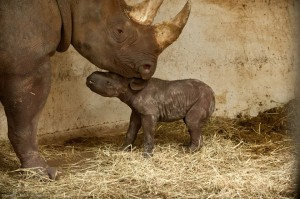 Baby Rhino Born at the Pittsburgh Zoo!