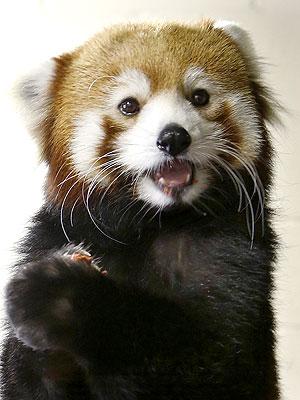 Pittsburgh Zoo Welcomes Red Panda