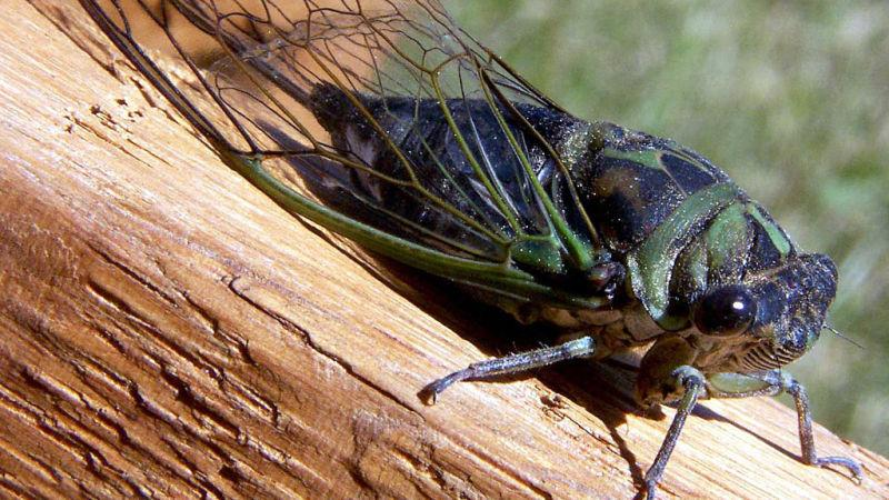 Cicadas set to make noisy reappearance after seventeen years of being underground