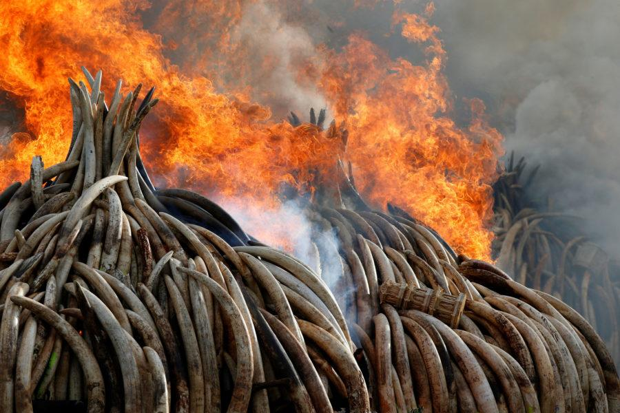 Fire burns part of an estimated 105 tonnes of ivory and a tonne of rhino horn confiscated from smugglers and poachers at the Nairobi National Park near Nairobi, Kenya, April 30, 2016. REUTERS/Siegfried Modola TPX IMAGES OF THE DAY      - RTX2C8NM