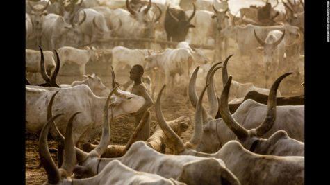 Mundari tribe dying for their cattle