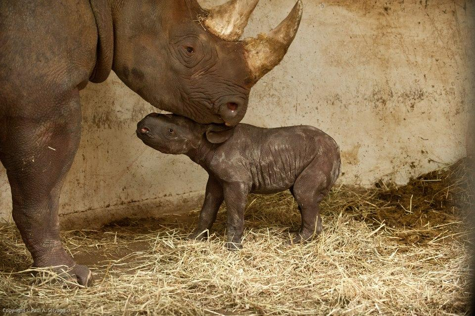 Baby Rhino Born at the Pittsburgh Zoo!