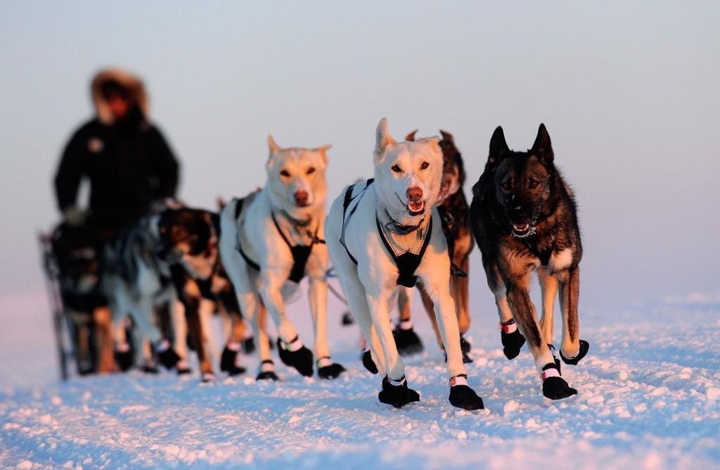 Four Time Iditarod Champion Now in Second Place