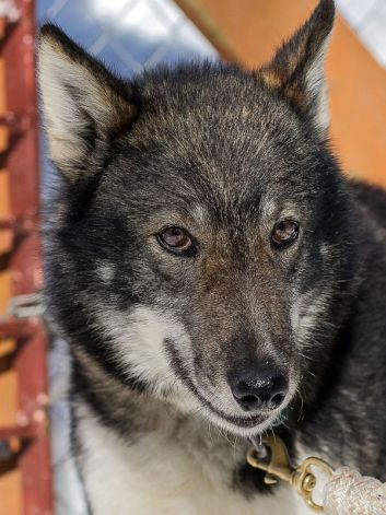 Iditarod Plans to Update Protocols