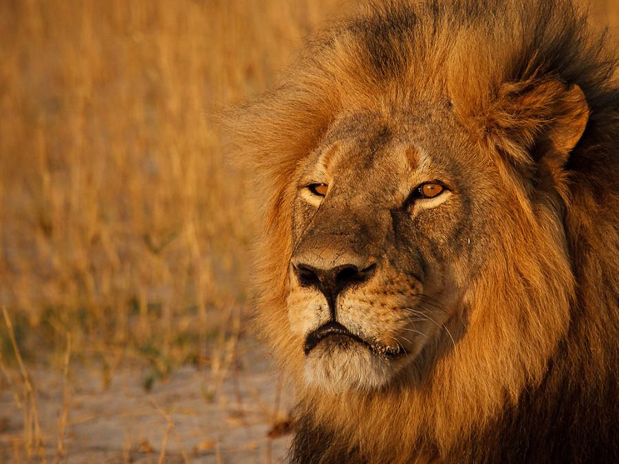 No+Charges+for+Killer+of+Cecil+the+Lion