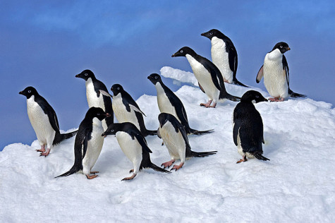 Penguin colony suffers after being landlocked by iceberg