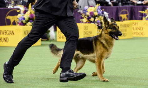 The Westminster Dog Show: A Whole Lot of Good Boys