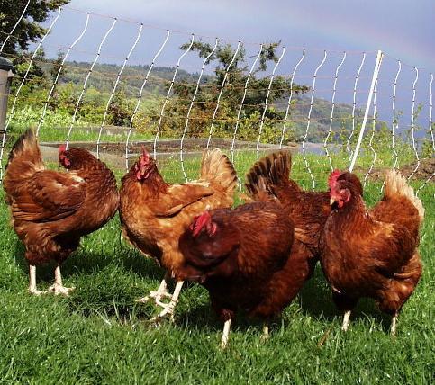 Bird Flu Found at Tyson Chicken Farm